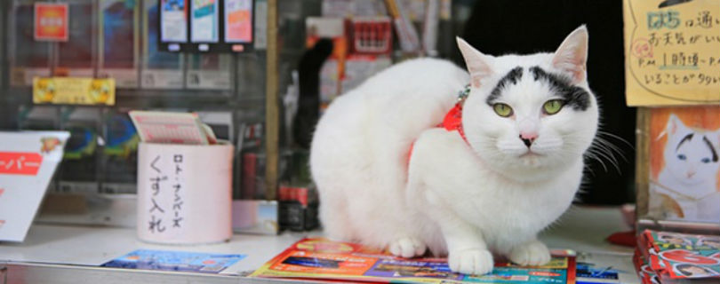Японский магазин трудоустроил кошку со «счастливым» окрасом, чтобы привлечь клиентов