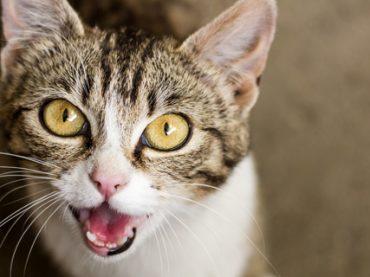 Исследование «мяу»: шведские ученые потратят пять лет на изучение кошачьего языка