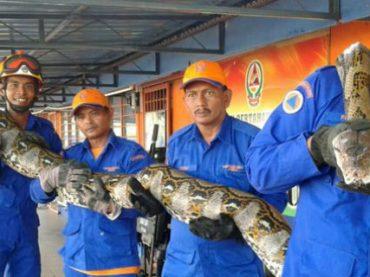 Рабочие на стройке в Малайзии поймали крупнейшего питона в истории