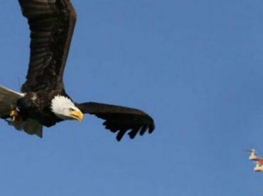 В Нидерландах орлов обучают охоте на дронов (видео)