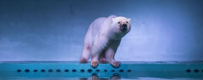 Белого медведя по кличке Пицца пытаются спасти от работы в витрине торгового центра