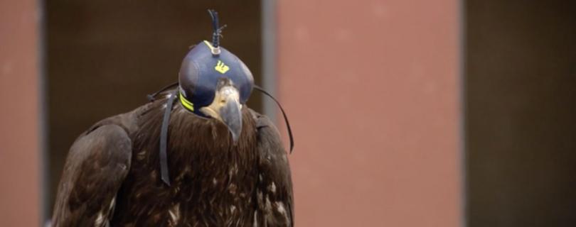 В Нидерландах борьбой с дронами занялись орлы в забавных шапочках