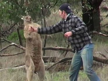 Австралийский зоопарк отказался уволить сотрудника за драку с кенгуру