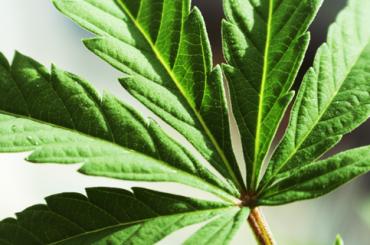 Любители марихуаны оказались более успешными и счастливыми, чем ее противники