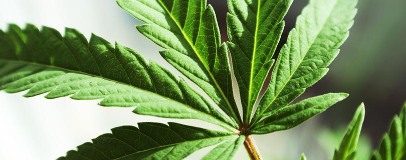 Любители марихуаны оказались более успешными и счастливыми, чем противники