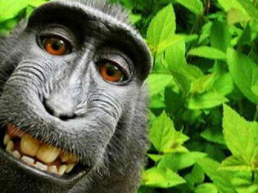 Макака, сделавшая удачное селфи, получит 25% роялти от продажи снимка