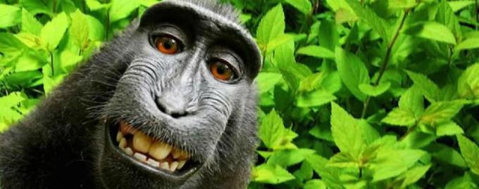 Макака, сделавшая удачное селфи, получит 25% роялти от снимка