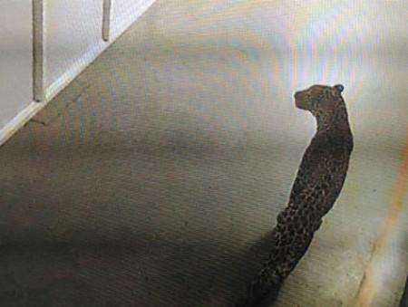 В Индии леопард разогнал сотрудников завода на окраине Дели