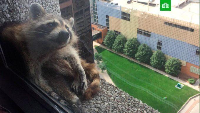 Отважный енот покорил небоскреб и стал героем соцсетей